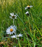 The daisies and the grass by Finnyanne