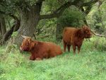 Highland Catle- 2 cows by schaduwvacht