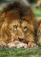 Lion's Lunch by Yair-Leibovich