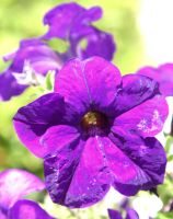 Purple Flower SA by Jenvanw