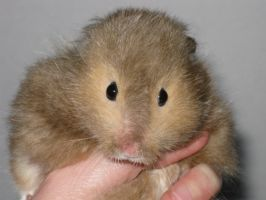 my brother's hamster by Elineeey