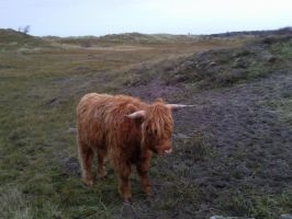 Highland Cattle 01 by Fea-Fanuilos-Stock