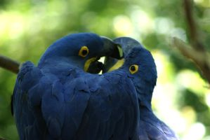 Hyacinth Macaw Love by MicWits101