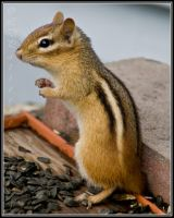 Eastern Chipmunk by sillverrfoxx