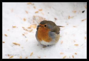 European robin by Rajmund67