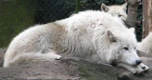 Wild animal 300 - Soulful white wolf by Momotte2stocks