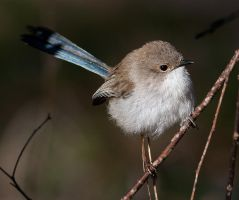 Female Superb Fairy-Wren 1 by Chezza932