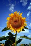 Sunflower by Yair-Leibovich