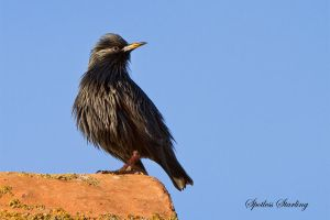 Spotless starling by Jamie-MacArthur