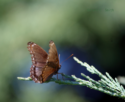 Red-spotted Purple 2 by Gerryanimator