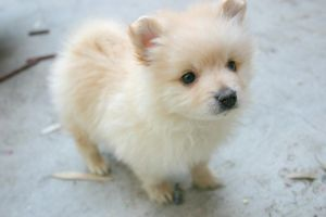 A Pomeranian by Dumbolized