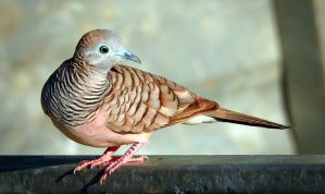 Peaceful Dove by Mike-Kossi