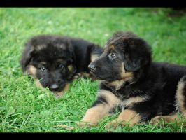 German shepherd puppies by Pawkeye