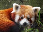 Red panda by JanuaryGuest