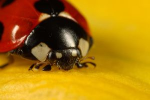 Ladybird by Alliec