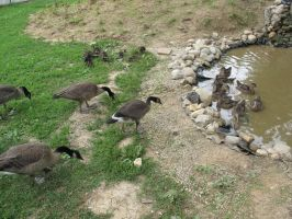 Orphaned Goslings and Ducklings 2a by Windthin