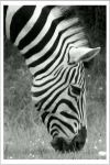 zebra by bydandphotography