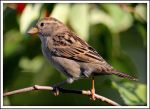 Sparrow In The Sun by Snowleopard59
