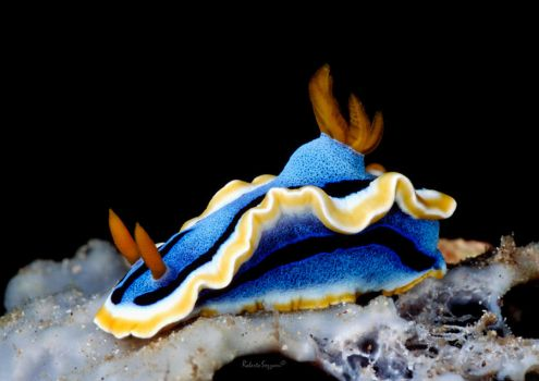 Chromodoris annae by LazyDugong