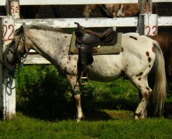 Western Appaloosa Stock by Ghost-Rebel-Stock