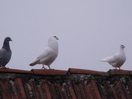 Pigeons on the roof 3/3 - the Three Kings by Sadova302b50