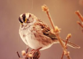 Sparrow in the rain by DillonStein