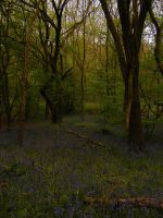 Bluebell Woods 7 by The-strawberry-tree
