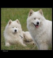 Samoyed 2 by Pawkeye