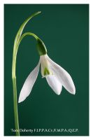 Snowdrop 5 by PicTd