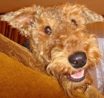 Airedale 11 by AnnLoz