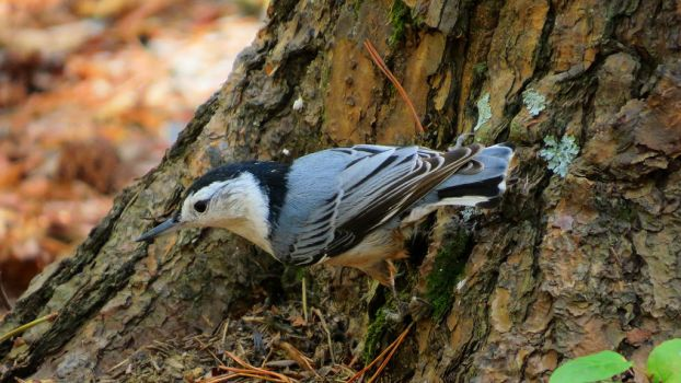 White-Breasted Nuthatch by daughterdragon