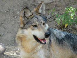ASDM: Mexican Wolf 13 by FamilyCanidae
