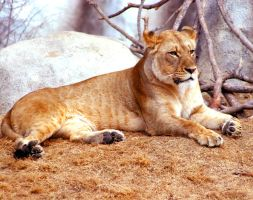 The Lioness by TlCphotography730