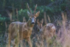 Stag and Doe by JRL5
