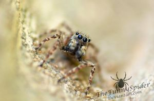 Sitticus Pubescens  - Adult Male by TheFunnySpider