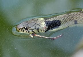 Grass snake swimming by AngiWallace