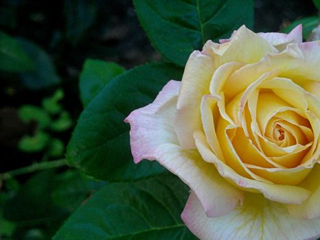 Rose by Sherl91