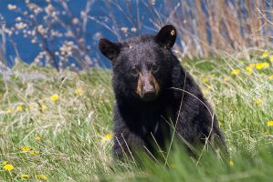 Spring Black Bear by Robin-Hugh