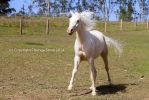Kr Arabian Cremello front view cantering by Chunga-Stock