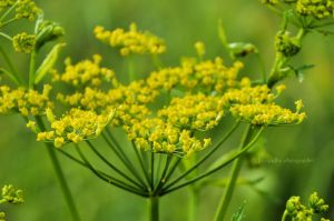 Wild fennel by fotografka