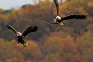 Bald Eagle Chase 7 by bovey-photo