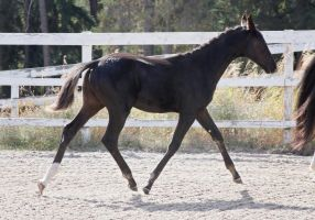 Black Warmblood Foal 008 by Notorious-Stock