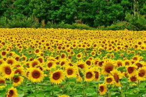 sunflowers by forloveandpeace