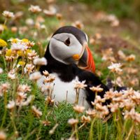 Puffin Flower by Sagereid