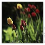 double tulips by rATRIJS
