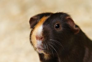 Guinea Pig dribble by NickiStock