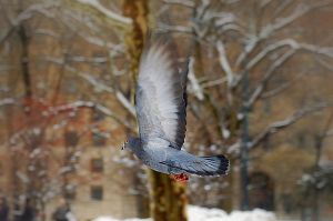 Pigeon in Flight by covertsniper83