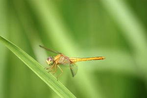 Dragonfly III by stinebamse