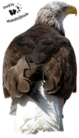 Cut-out stock PNG 10 - bald eagle by Momotte2stocks