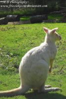 Albino Wallaby by Soul-Reader